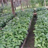 small_philippines-nursery-rows_1